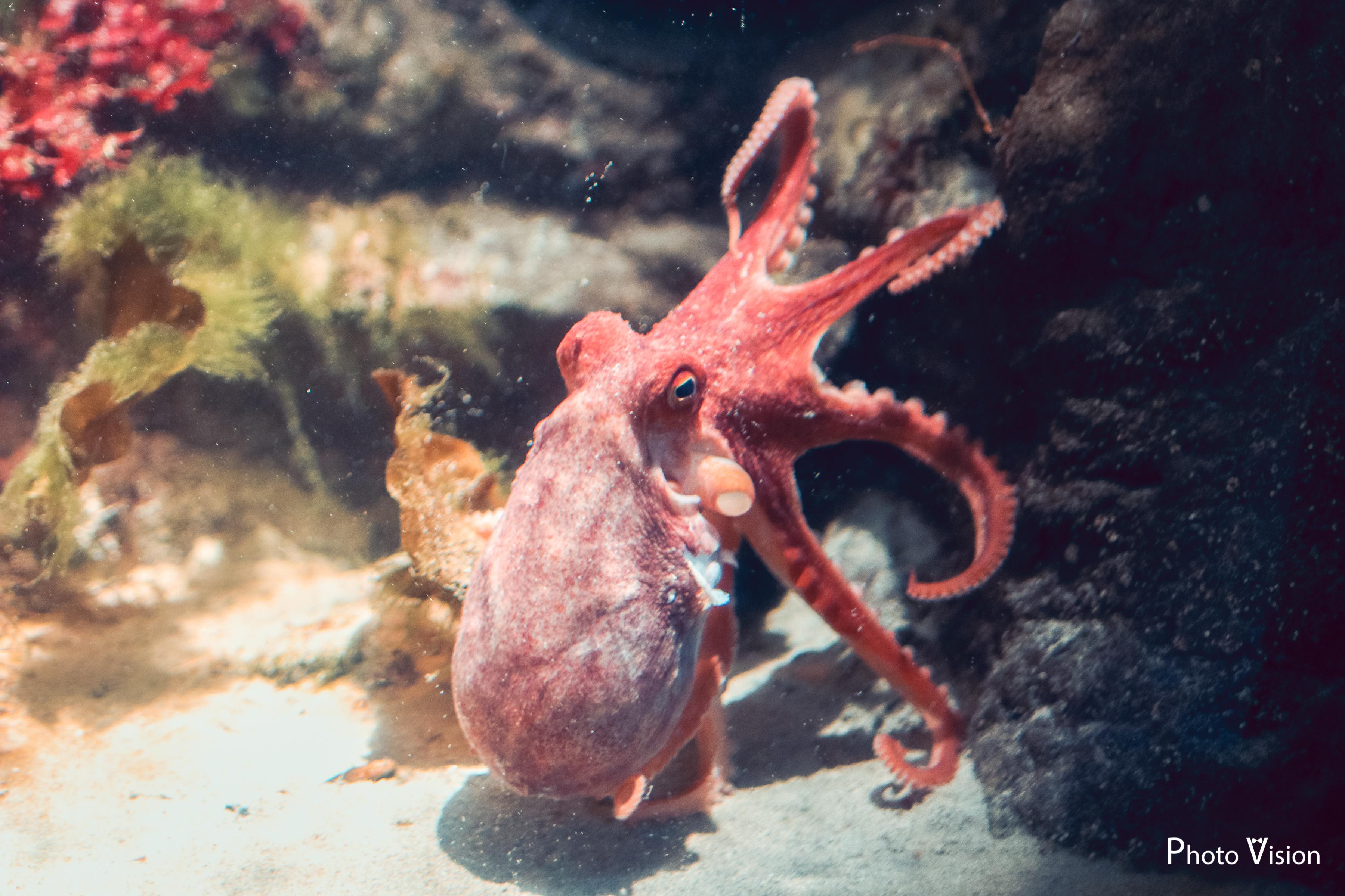 Осьминог аквариум